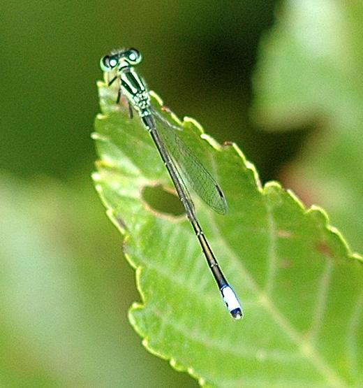 Eastern Forktail - Ischnura verticalis