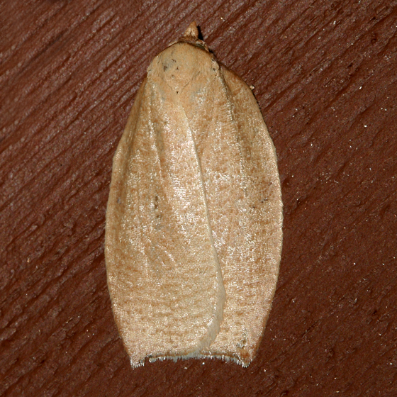Western Avocado Leafroller - Amorbia cuneanum