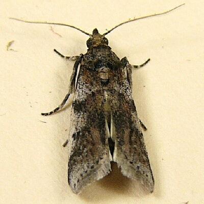 5949 -  - Laetilia coccidivora