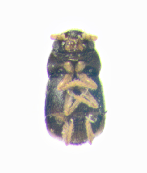 maybe Ptiliidae, ventral