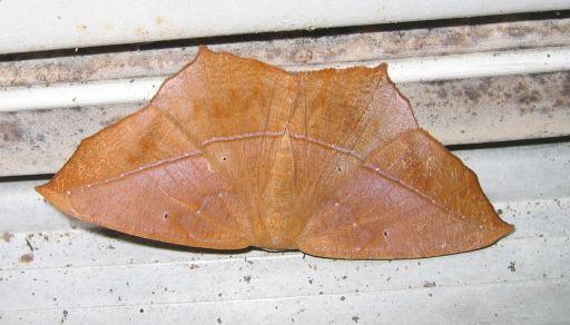 Leaf-like moth - Prochoerodes lineola