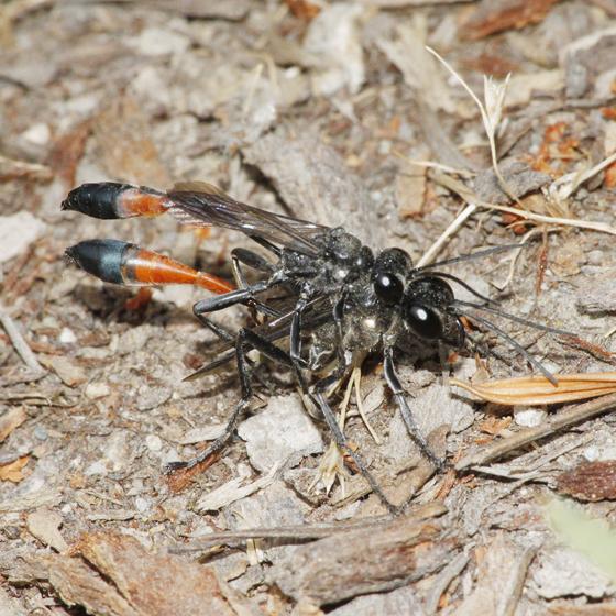 Ichneumon Wasp? - Ammophila - male - female