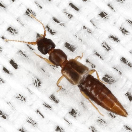 Rove Beetle - Thinocharis