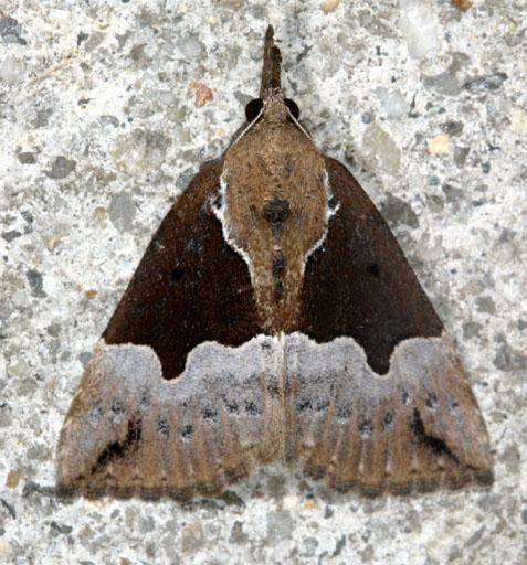 Dimorphic Bomolocha - Hypena bijugalis - female