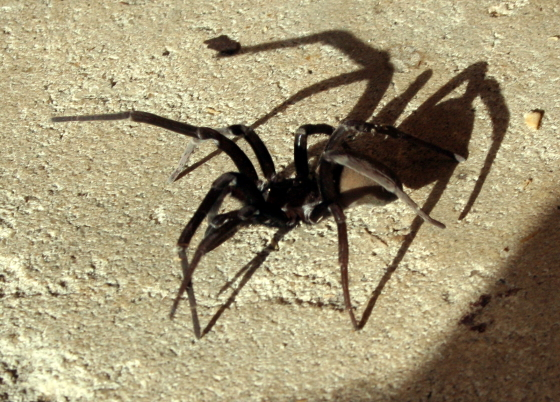 Wolf Spider? Nope! Crevice Weaver - Kukulcania hibernalis - female