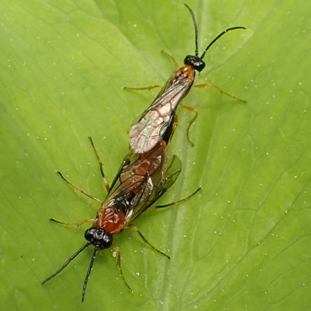 Orange and black sawflies - male - female