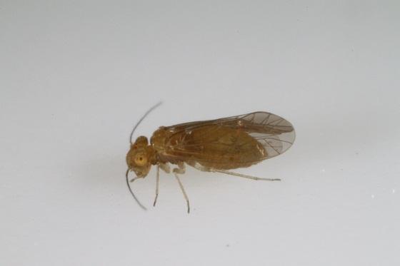 Lachesilla forcepeta - female