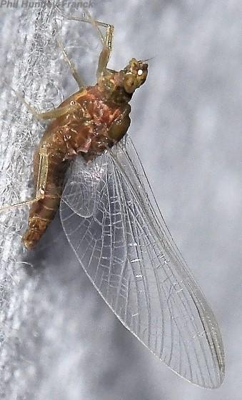 Mayfly - Ephemerella excrucians - female