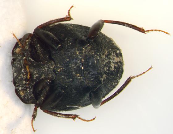 Histeridae, ventral - Onthophilus wenzeli