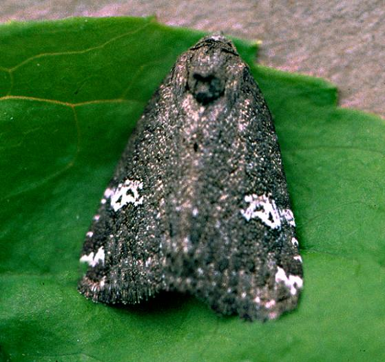 The Gray Marvel - Anterastria teratophora