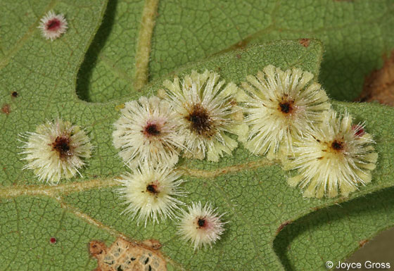 Sunburst Gall Wasp - Andricus stellaris - female