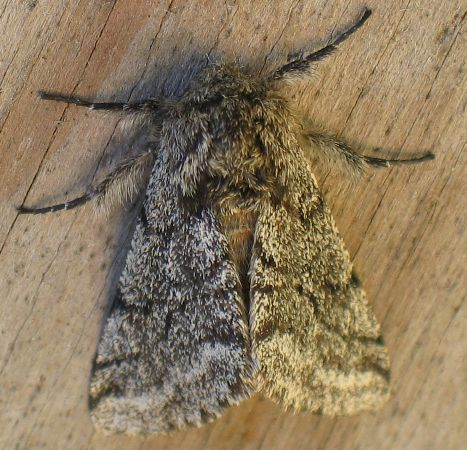 hairy geometer - Lycia ursaria - male