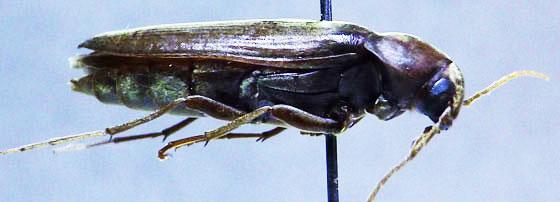 Largish Tenebrionid perhaps - Serropalpus