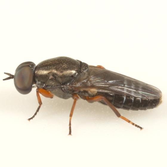 Bird nest fly - Scenopinus