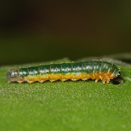Hibiscus Sawfly (Atomacera decepta) - Atomacera decepta