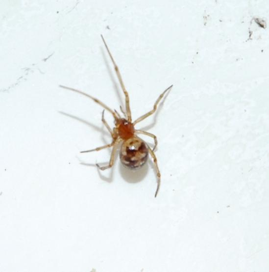 South Texas Spider - Steatoda triangulosa