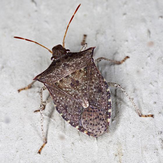 Stink Bug - Euschistus tristigmus