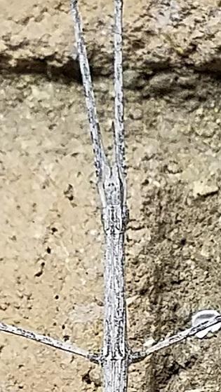 Parabacillus hesperus (Western Short-Horn Walkingstick)? - Parabacillus