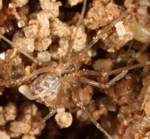 Small Spider - Psilochorus