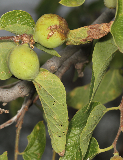 hackberry petiole gall psyllid - Pachypsylla venusta