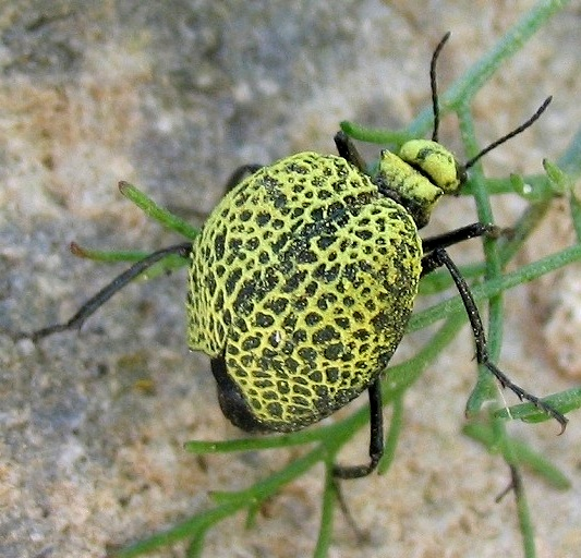 Inflated Beetle - Cysteodemus armatus