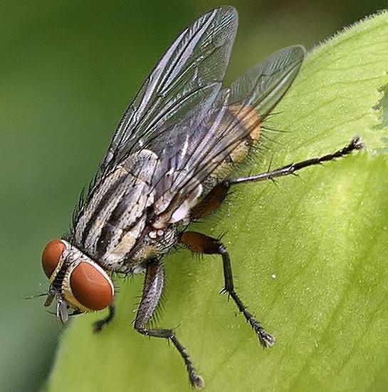 flesh fly - male