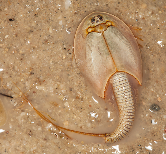 Longtail Tadpole Shrimp : Longtail Tadpole Shrimp (Triops longicaudatus) - Triops - BugGuide.Net