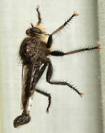 Robber Fly - Efferia pogonias - male