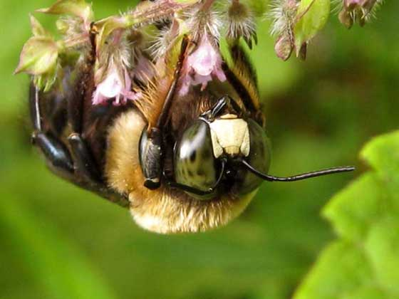 Yellow-faced Bumble Bee or Something Else? - Xylocopa virginica - male