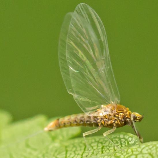 mayfly - Acentrella turbida - female