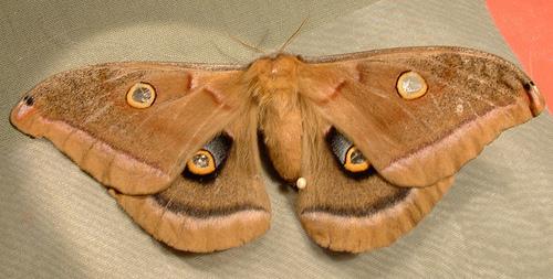697 Antheraea polyphemus - Polyphemus Moth 7757 - Antheraea polyphemus - female
