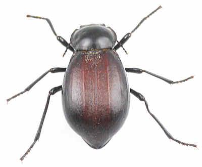 Tenebrionidae - ? - Stenomorpha