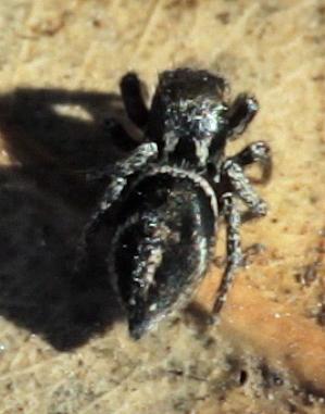 Jumping Spider - Habronattus schlingeri - female