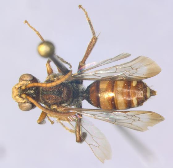 Nomada, dorsal - Nomada cressonii - male
