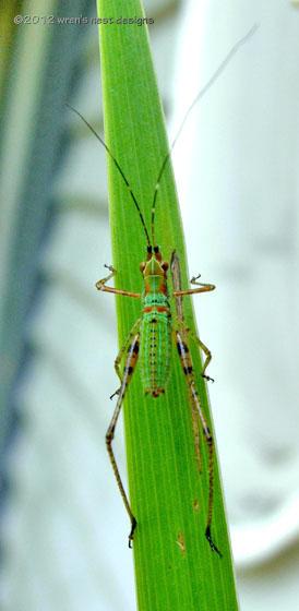 Orthopteran nymph. - Scudderia