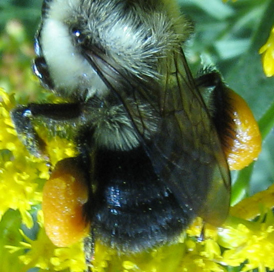 Bumble bee with corbicula loaded with pollen - female