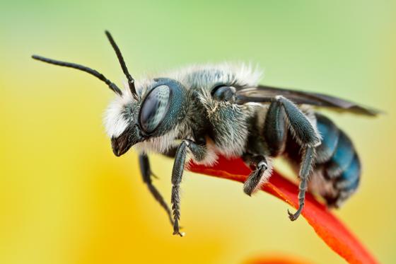 blue bee - Osmia chalybea