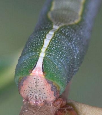 Heterocampa species? - Heterocampa astarte