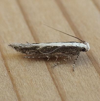 Gelechiidae: Gnorimoschema brachiatum? - Gnorimoschema