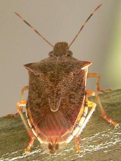 Spined Soldier Bug (Podisus maculiventris) - Podisus maculiventris