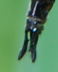 Spiny Baskettail 1 - Epitheca spinigera