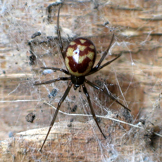 Wood Pile Spider - Steatoda grossa - female