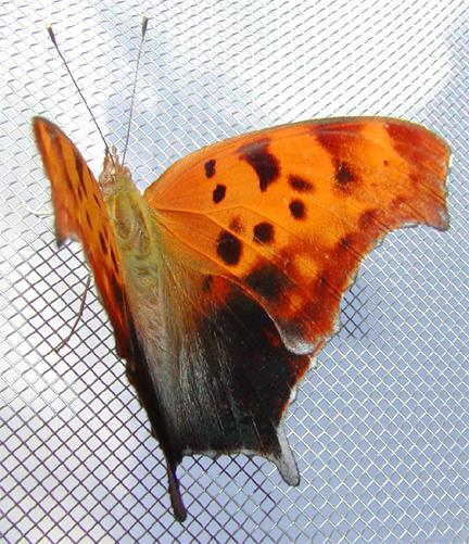 Questionmark Butterfly (wings open)