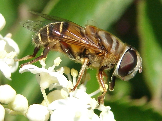 Drone Fly? - Palpada vinetorum