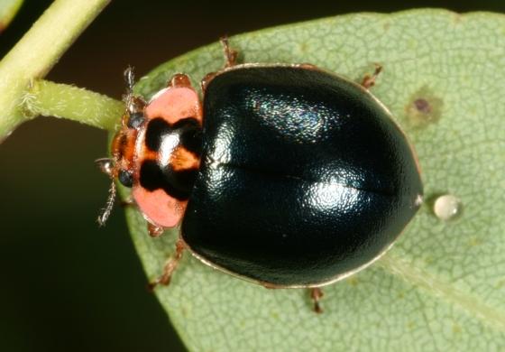 beetle 4 - Neoharmonia venusta