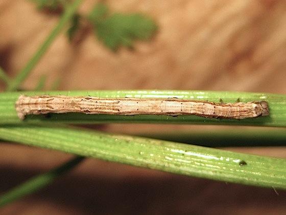 Life cycle: caterpillar - Pero