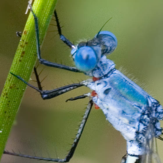 Mating Spreadwings - Lestes eurinus - male