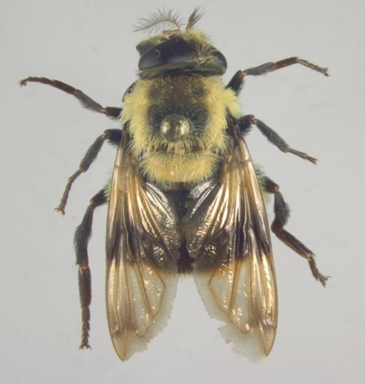 Syrphidae, Volucella bombylans?, dorsal - Volucella bombylans-complex