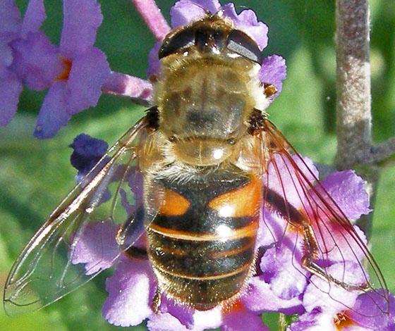 Fly - Eristalis tenax
