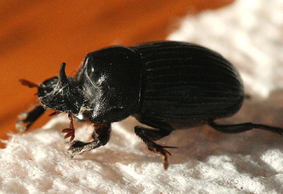 Rhinoceros Beetle - Copris minutus - male